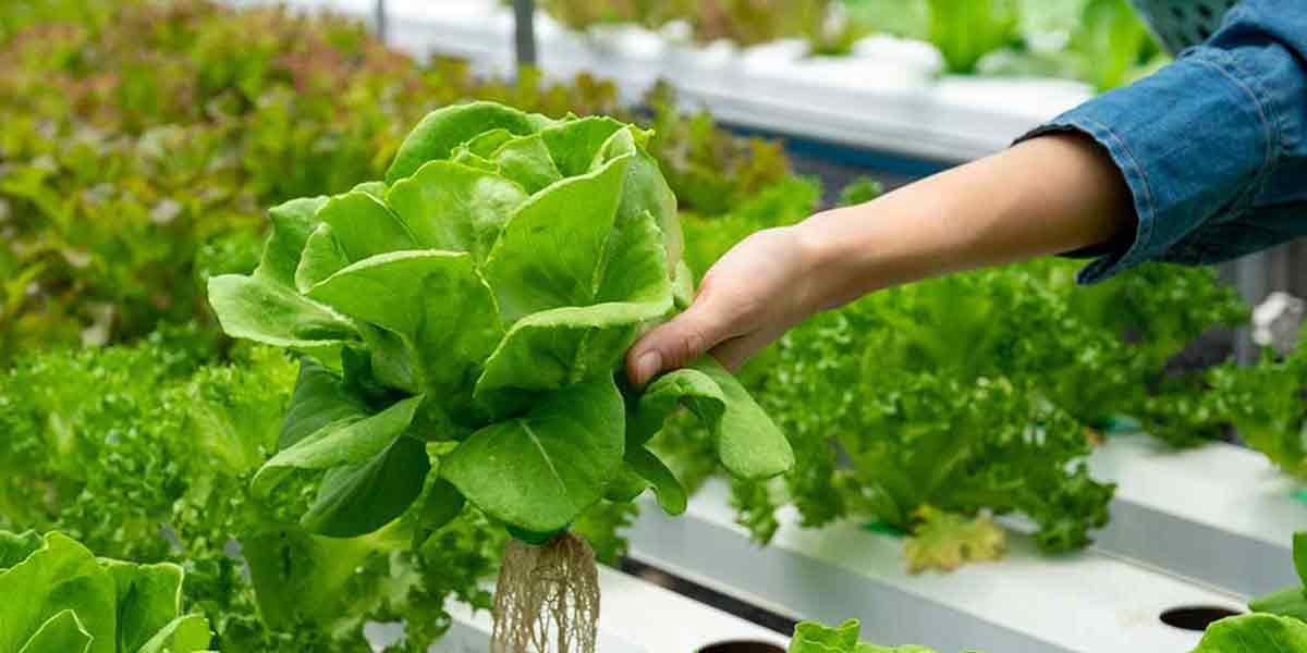 Fresh Hydroponically Grown Nutritious Produce To Keep You In Excellent Health